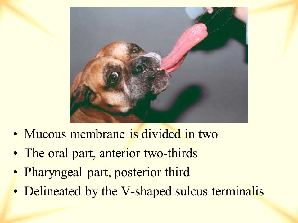 Composed of skeletal muscle Covered by smooth mucous membrane on underside Dorsal surface contains papillae (taste buds)