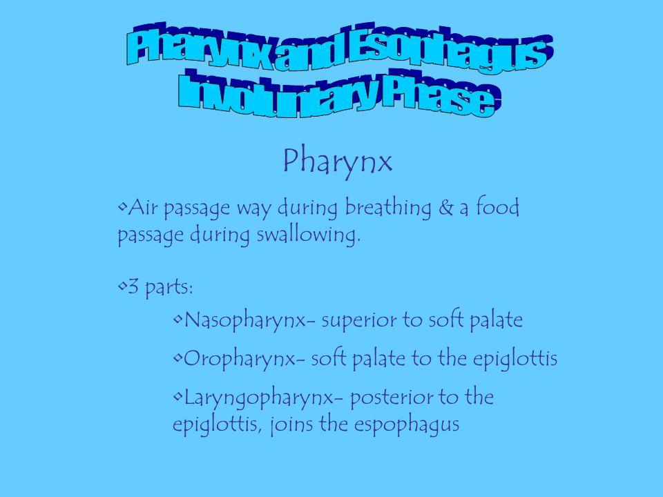 The Pharynx The Esophagus