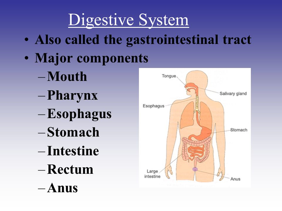 Also called the gastrointestinal tract Major components –Mouth –Pharynx –Esophagus –Stomach –Intestine –Rectum –Anus