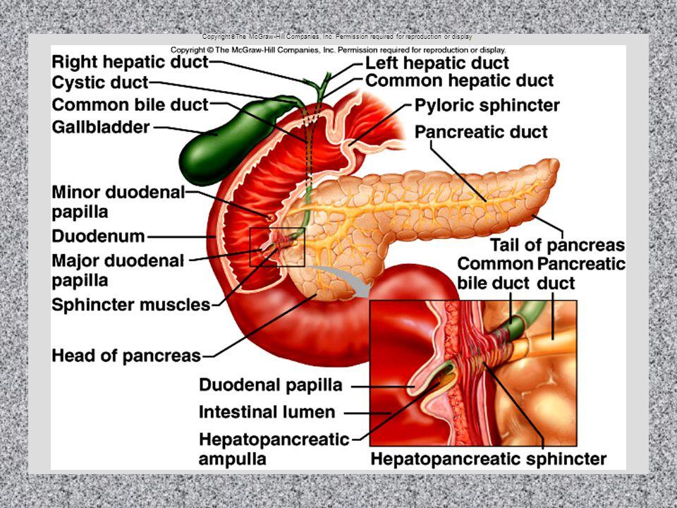 15 - 14 The Pancreas Copyright  The McGraw-Hill Companies, Inc.