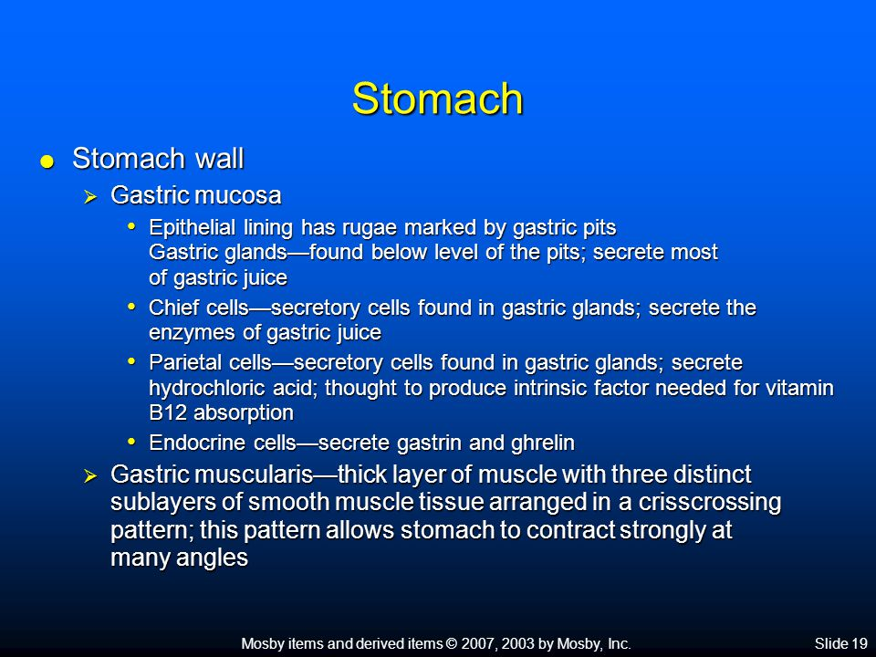 Mosby items and derived items © 2007, 2003 by Mosby, Inc.Slide 19 Stomach  Stomach wall  Gastric mucosa Epithelial lining has rugae marked by gastric pits Gastric glands—found below level of the pits; secrete most of gastric juice Epithelial lining has rugae marked by gastric pits Gastric glands—found below level of the pits; secrete most of gastric juice Chief cells—secretory cells found in gastric glands; secrete the enzymes of gastric juice Chief cells—secretory cells found in gastric glands; secrete the enzymes of gastric juice Parietal cells—secretory cells found in gastric glands; secrete hydrochloric acid; thought to produce intrinsic factor needed for vitamin B12 absorption Parietal cells—secretory cells found in gastric glands; secrete hydrochloric acid; thought to produce intrinsic factor needed for vitamin B12 absorption Endocrine cells—secrete gastrin and ghrelin Endocrine cells—secrete gastrin and ghrelin  Gastric muscularis—thick layer of muscle with three distinct sublayers of smooth muscle tissue arranged in a crisscrossing pattern; this pattern allows stomach to contract strongly at many angles