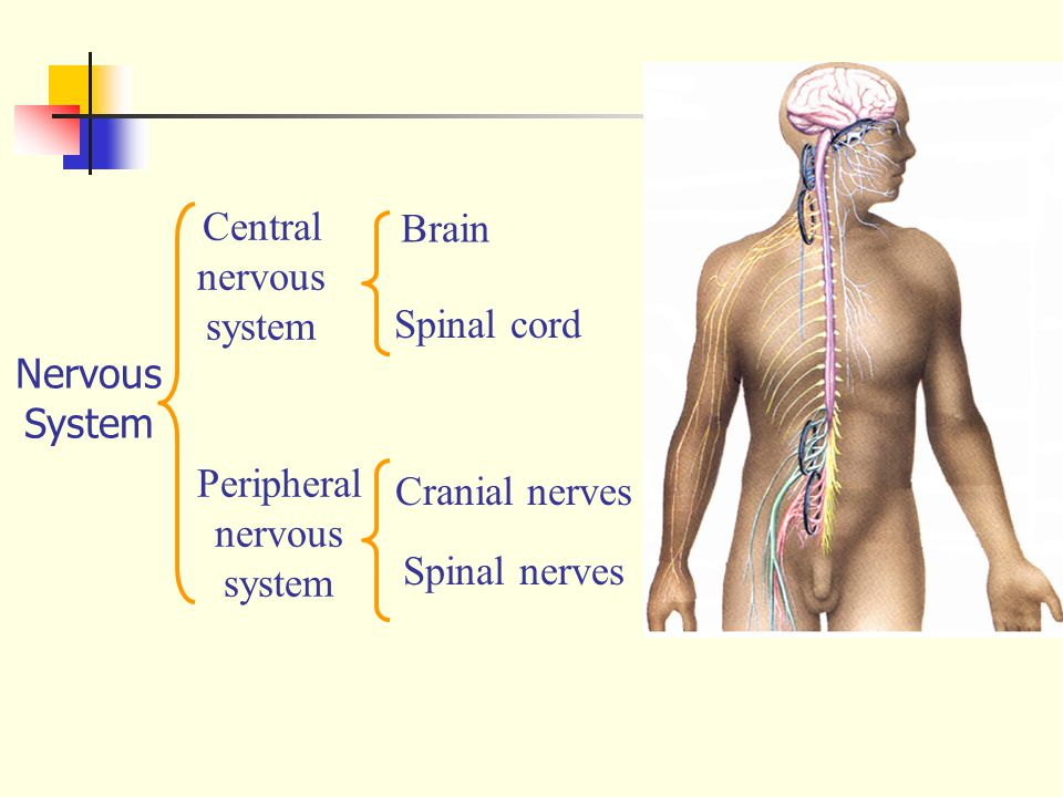 Cervical cardiac branches Anterior gastric branches Celiac branches Pharyngeal branch Superior laryngeal n.