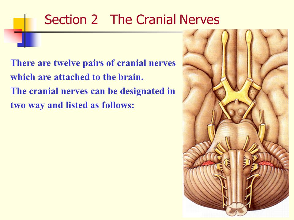 Section 2 The Cranial Nerves There are twelve pairs of cranial nerves which are attached to the brain.