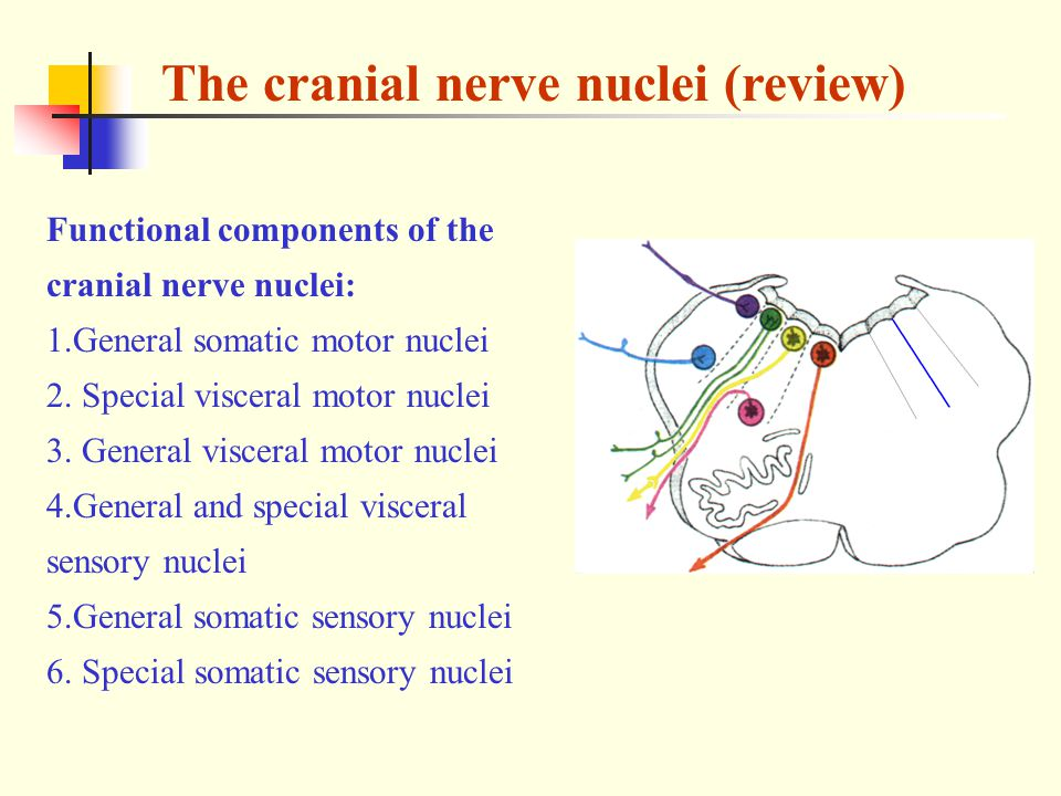 The cranial nerve nuclei (review) Functional components of the cranial nerve nuclei: 1.General somatic motor nuclei 2.