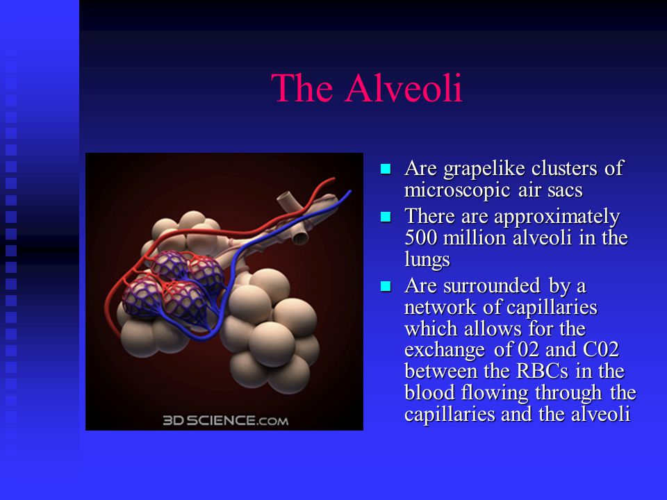 The Bronchioles Are the smallest branches of the bronchi Are the smallest branches of the bronchi Each end with clusters of alveoli Each end with clusters of alveoli