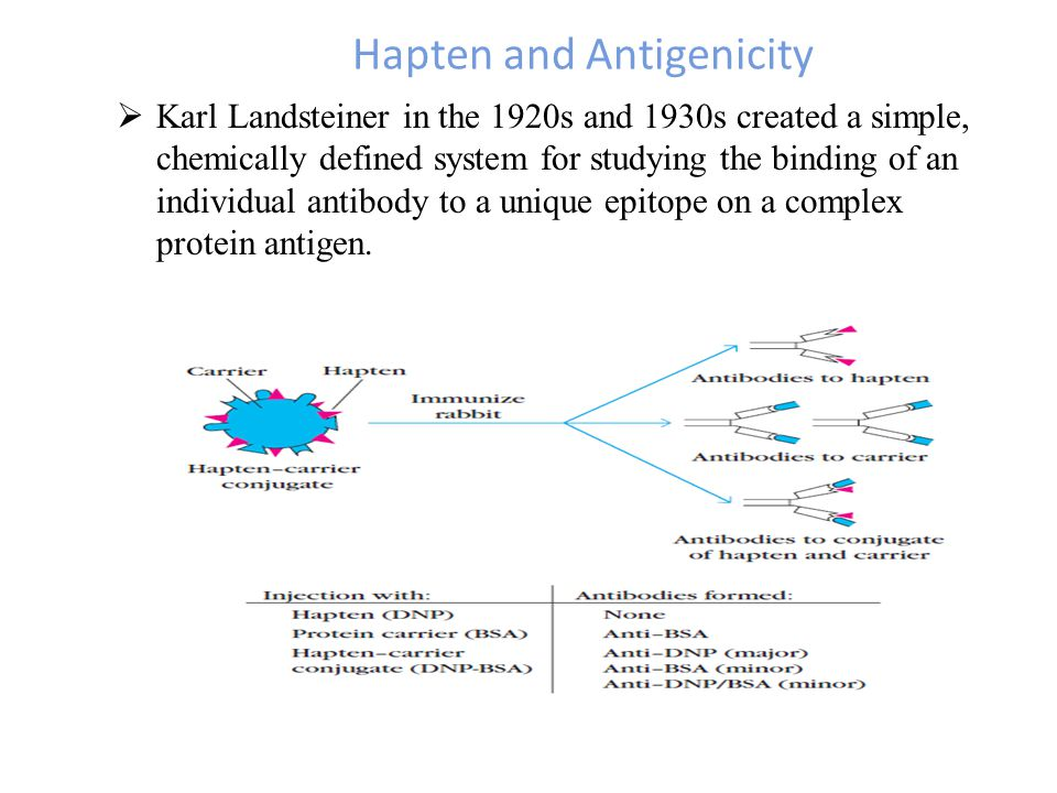 Hapten and Antigenicity  Karl Landsteiner in the 1920s and 1930s created a simple, chemically defined system for studying the binding of an individual antibody to a unique epitope on a complex protein antigen.