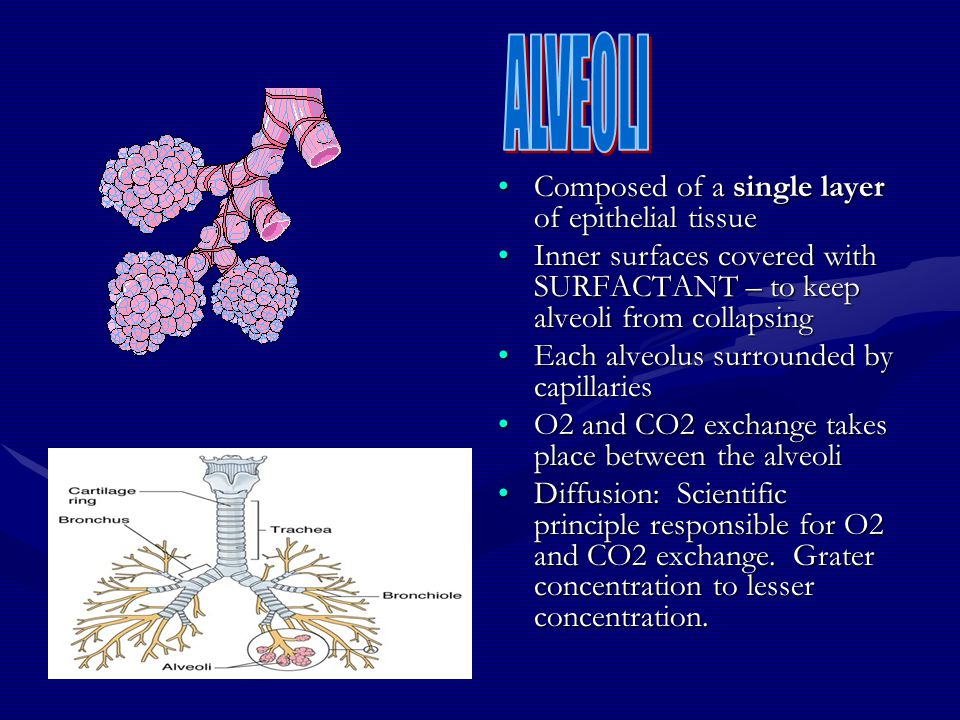 Composed of a single layer of epithelial tissue Inner surfaces covered with SURFACTANT – to keep alveoli from collapsing Each alveolus surrounded by c