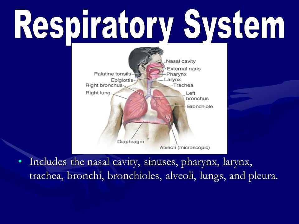 Includes the nasal cavity, sinuses, pharynx, larynx, trachea, bronchi, bronchioles, alveoli, lungs, and pleura.Includes the nasal cavity, sinuses, pha