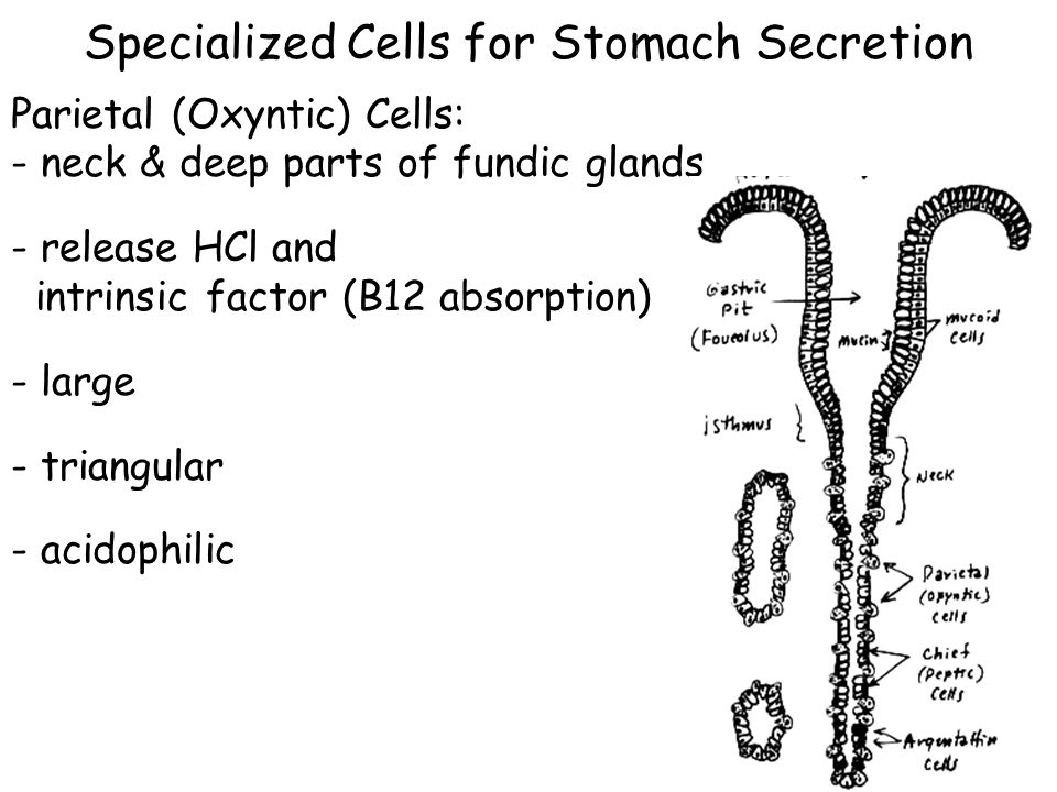 Specialized Cells for Stomach Secretion Parietal (Oxyntic) Cells: - neck & deep parts of fundic glands - release HCl and intrinsic factor (B12 absorption) - large - triangular - acidophilic