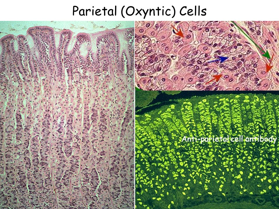 Parietal (Oxyntic) Cells Anti-parietal cell antibody