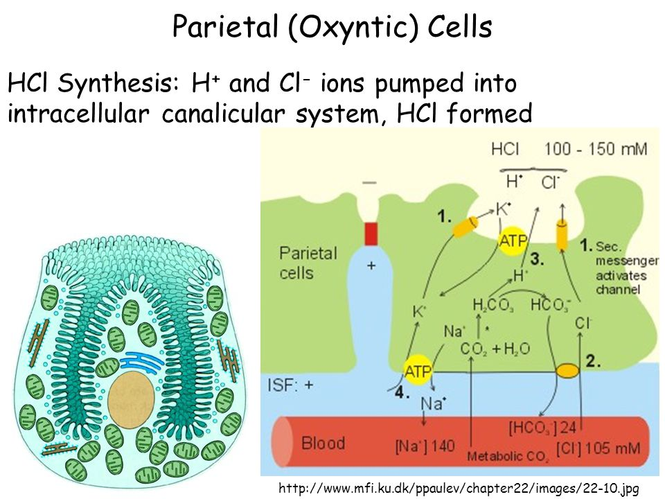 Parietal (Oxyntic) Cells HCl Synthesis: H + and Cl - ions pumped into intracellular canalicular system, HCl formed http://www.mfi.ku.dk/ppaulev/chapte