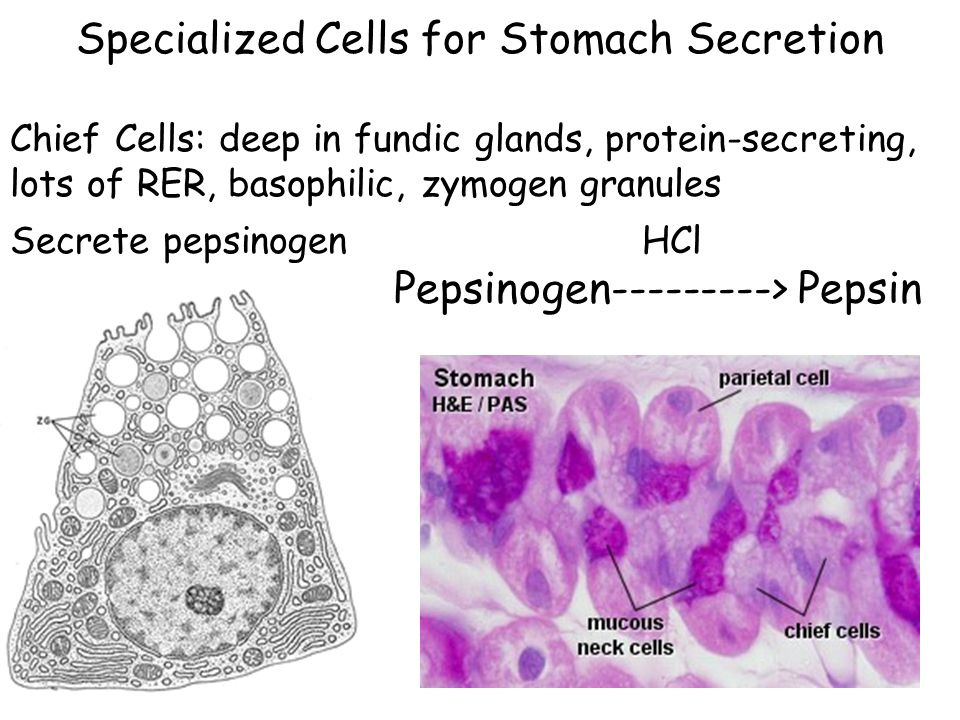 Specialized Cells for Stomach Secretion Chief Cells: deep in fundic glands, protein-secreting, lots of RER, basophilic, zymogen granules Secrete pepsinogen HCl Pepsinogen---------> Pepsin