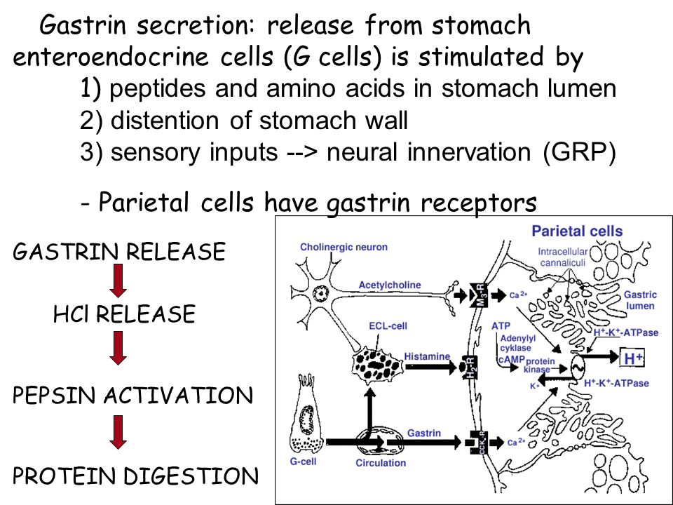 Gastrin secretion: release from stomach enteroendocrine cells (G cells) is stimulated by 1) peptides and amino acids in stomach lumen 2) distention of stomach wall 3) sensory inputs --> neural innervation (GRP) - Parietal cells have gastrin receptors GASTRIN RELEASE HCl RELEASE PEPSIN ACTIVATION PROTEIN DIGESTION