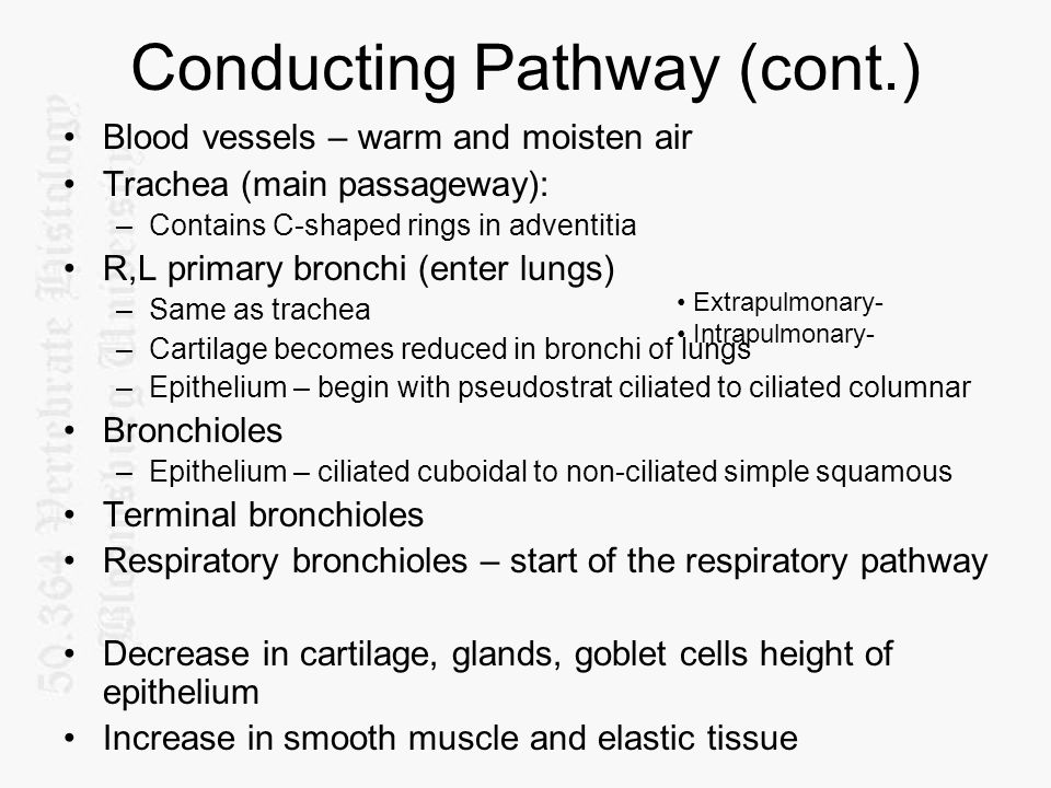 Conducting Pathway (cont.) Blood vessels – warm and moisten air Trachea (main passageway): –Contains C-shaped rings in adventitia R,L primary bronchi