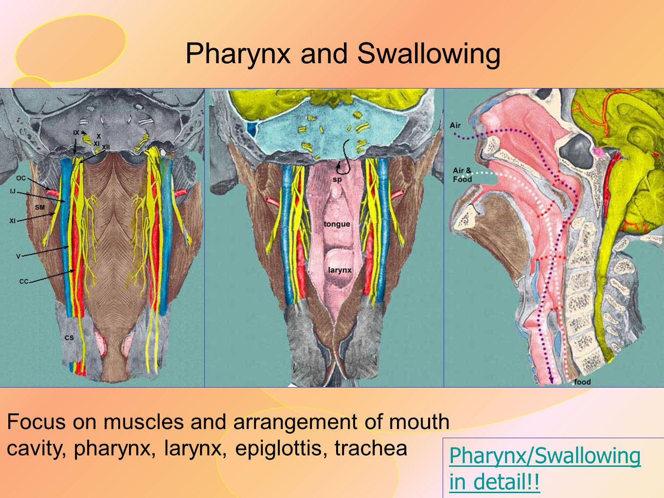 Pharynx and Swallowing Focus on muscles and arrangement of mouth cavity, pharynx, larynx, epiglottis, trachea Pharynx/Swallowing in detail!!