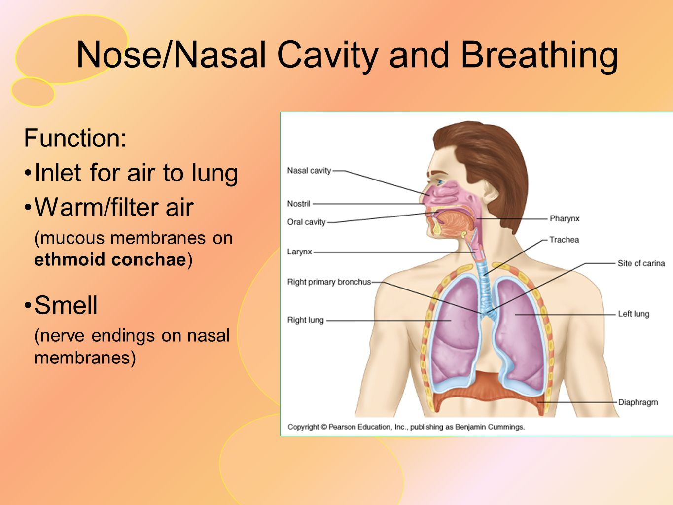 Nose/Nasal Cavity and Breathing Function: Inlet for air to lung Warm/filter air (mucous membranes on ethmoid conchae) Smell (nerve endings on nasal me