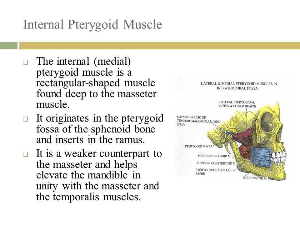 Internal Pterygoid Muscle  The internal (medial) pterygoid muscle is a rectangular-shaped muscle found deep to the masseter muscle.  It originates i