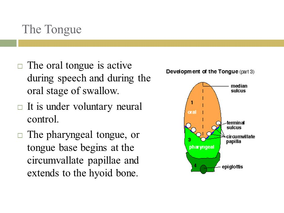 The Tongue  The oral tongue is active during speech and during the oral stage of swallow.  It is under voluntary neural control.  The pharyngeal to