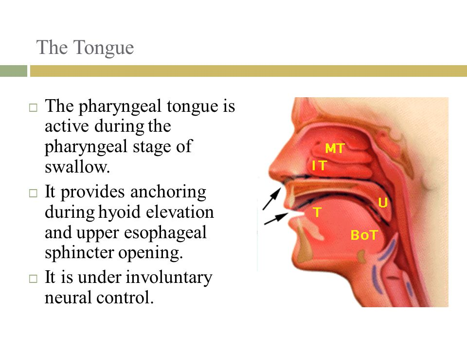 The Tongue  The pharyngeal tongue is active during the pharyngeal stage of swallow.