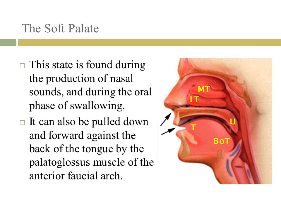 The Soft Palate  This state is found during the production of nasal sounds, and during the oral phase of swallowing.
