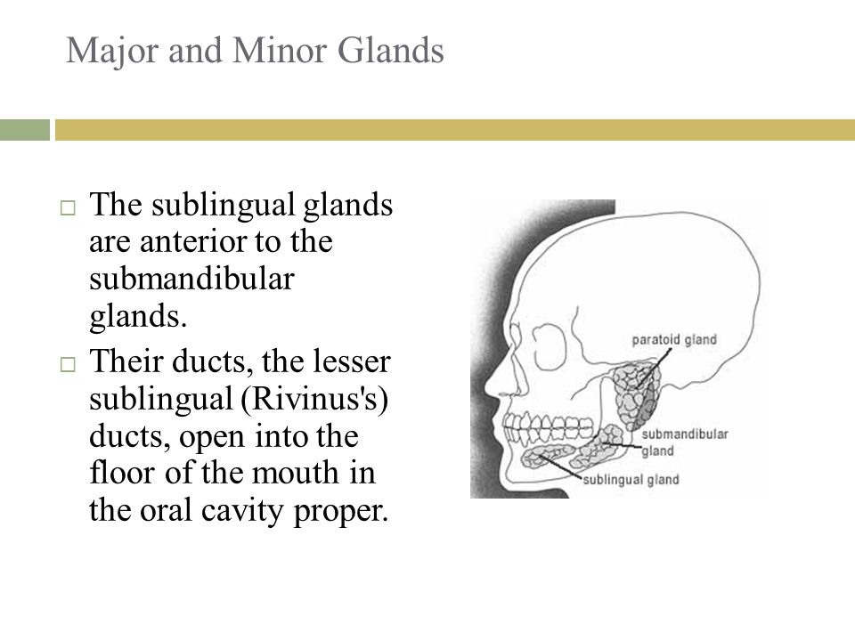 Major and Minor Glands  The sublingual glands are anterior to the submandibular glands.