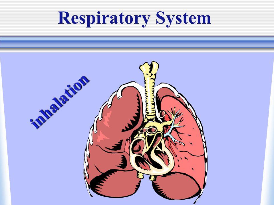 Respiratory System inhalation