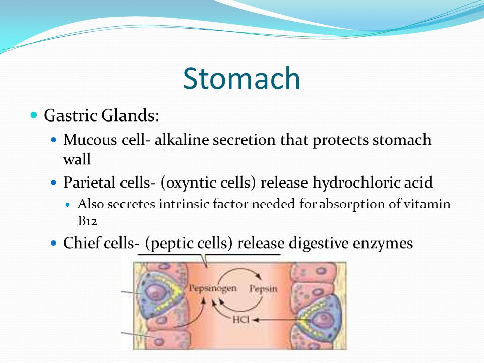 Stomach Gastric Glands: Mucous cell- alkaline secretion that protects stomach wall Parietal cells- (oxyntic cells) release hydrochloric acid Also secr