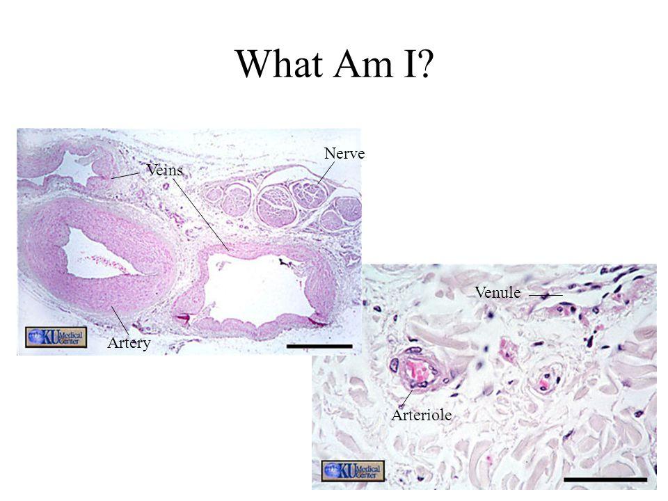 Veins Artery Nerve Venule Arteriole