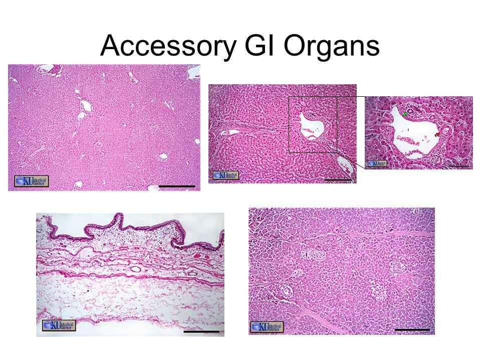 Accessory GI Organs