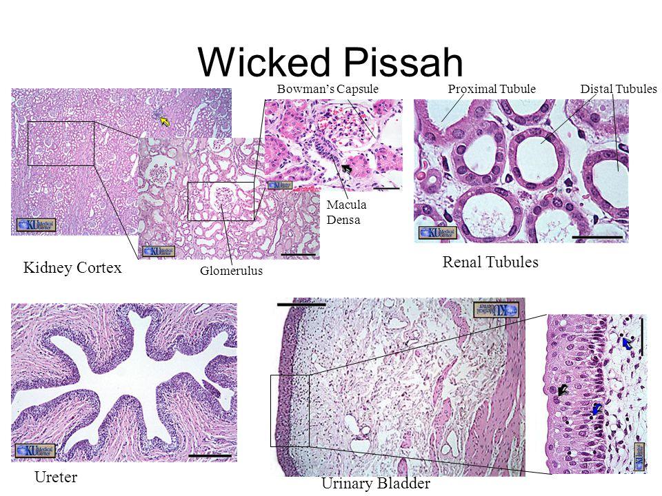 Kidney Cortex Renal Tubules Ureter Urinary Bladder Proximal TubuleDistal Tubules Glomerulus Bowman's Capsule Macula Densa