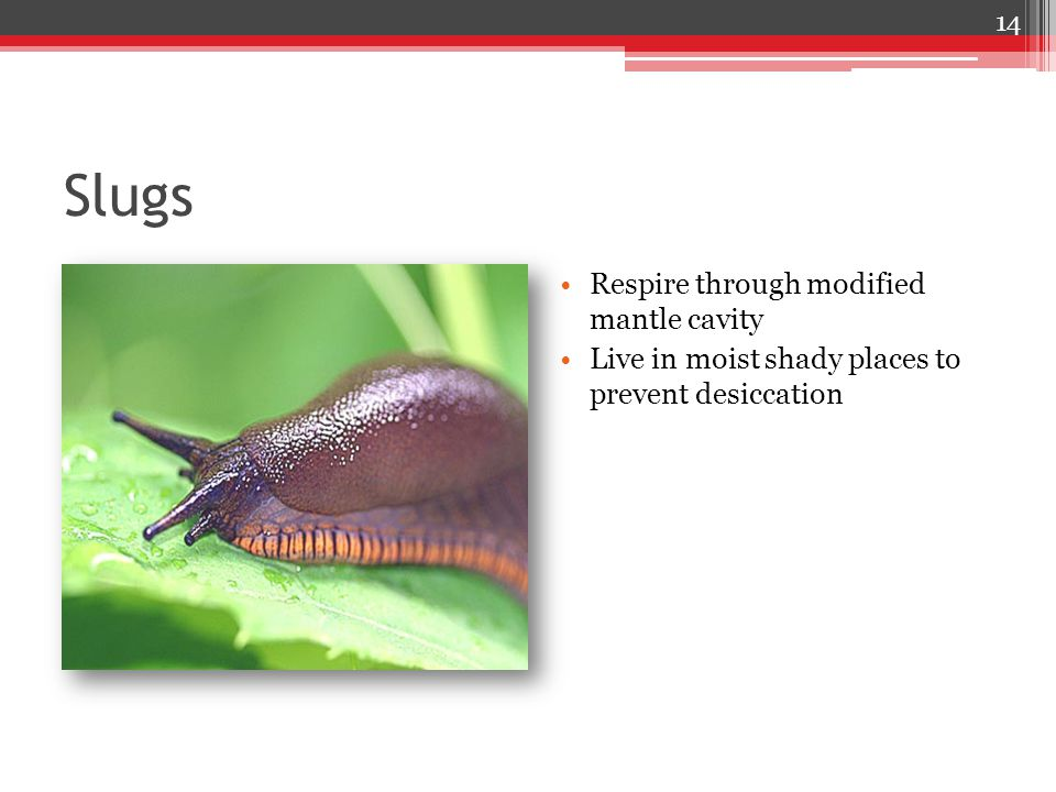 Slugs Respire through modified mantle cavity Live in moist shady places to prevent desiccation 14
