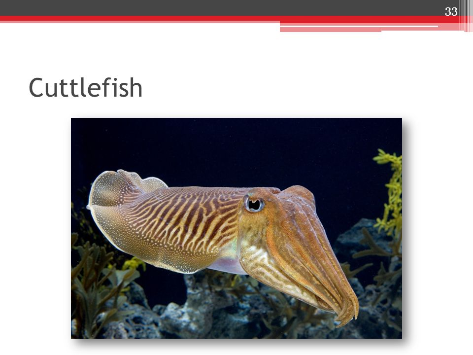 Cuttlefish 33