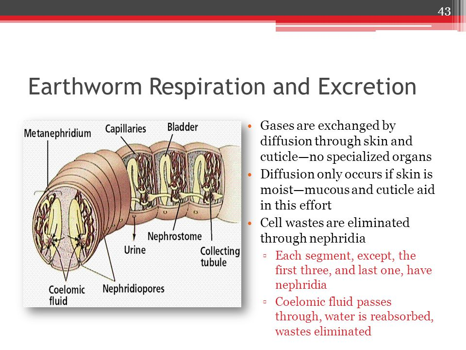 Earthworm Respiration and Excretion Gases are exchanged by diffusion through skin and cuticle—no specialized organs Diffusion only occurs if skin is moist—mucous and cuticle aid in this effort Cell wastes are eliminated through nephridia ▫Each segment, except, the first three, and last one, have nephridia ▫Coelomic fluid passes through, water is reabsorbed, wastes eliminated 43