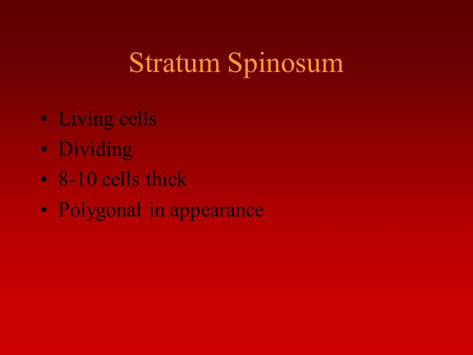 Stratum Spinosum Living cells Dividing 8-10 cells thick Polygonal in appearance