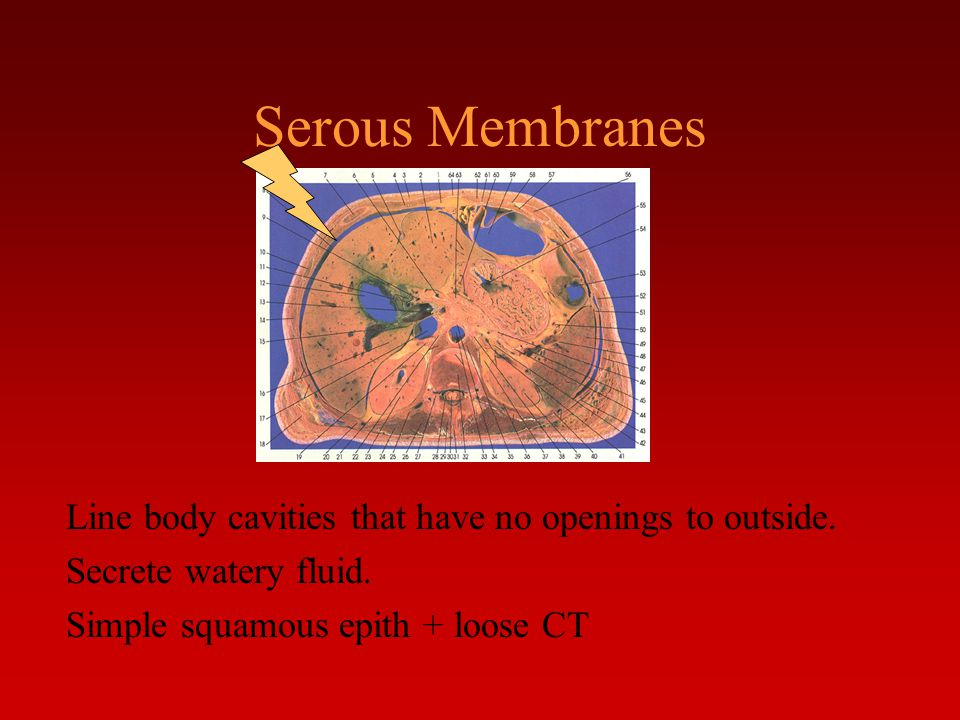 Serous Membranes Line body cavities that have no openings to outside. Secrete watery fluid. Simple squamous epith + loose CT