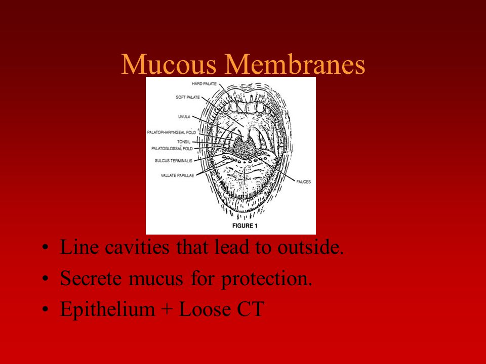 Mucous Membranes Line cavities that lead to outside. Secrete mucus for protection. Epithelium + Loose CT