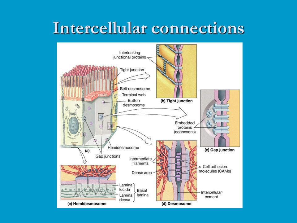 Intercellular connections