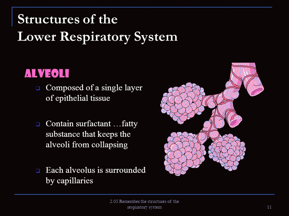 2.05 Remember the structures of the respiratory system 11 Structures of the Lower Respiratory System Alveoli  Composed of a single layer of epithelia