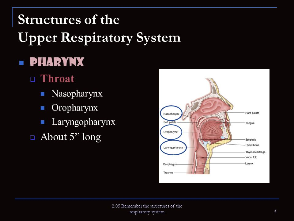 2.05 Remember the structures of the respiratory system 5 Structures of the Upper Respiratory System Pharynx  Throat Nasopharynx Oropharynx Laryngopha