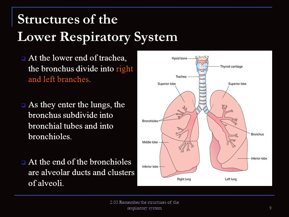 2.05 Remember the structures of the respiratory system 9 Structures of the Lower Respiratory System  At the lower end of trachea, the bronchus divide