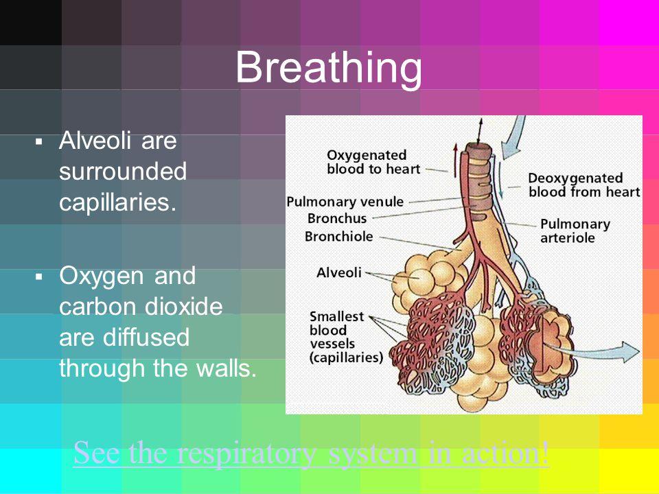 Breathing  Alveoli are surrounded capillaries.