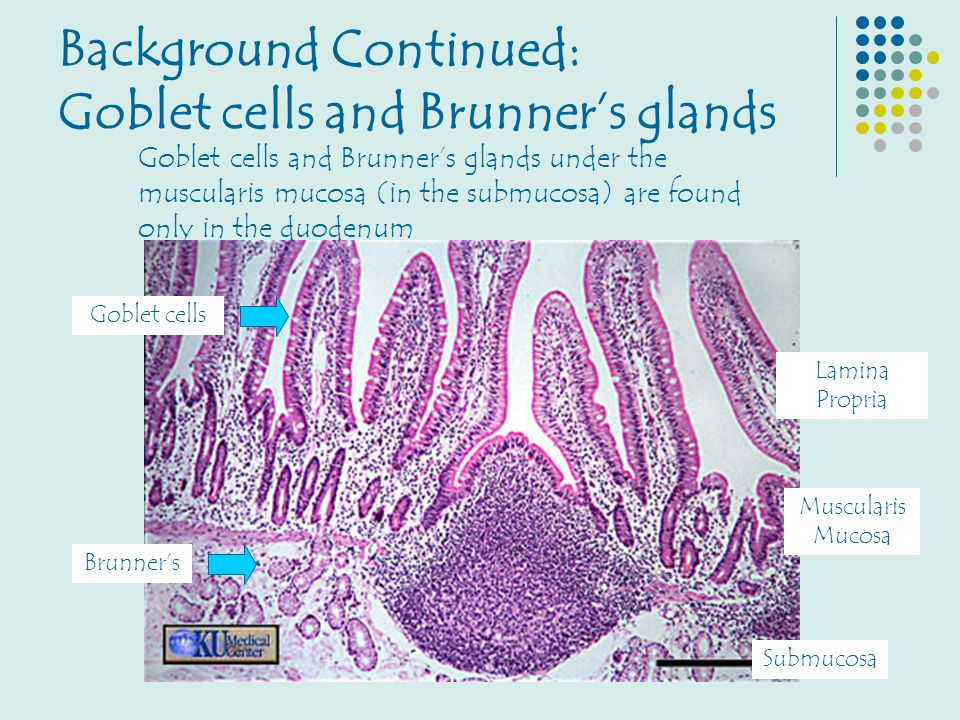 Background Continued: Goblet cells and Brunner's glands Goblet cells and Brunner's glands under the muscularis mucosa (in the submucosa) are found onl