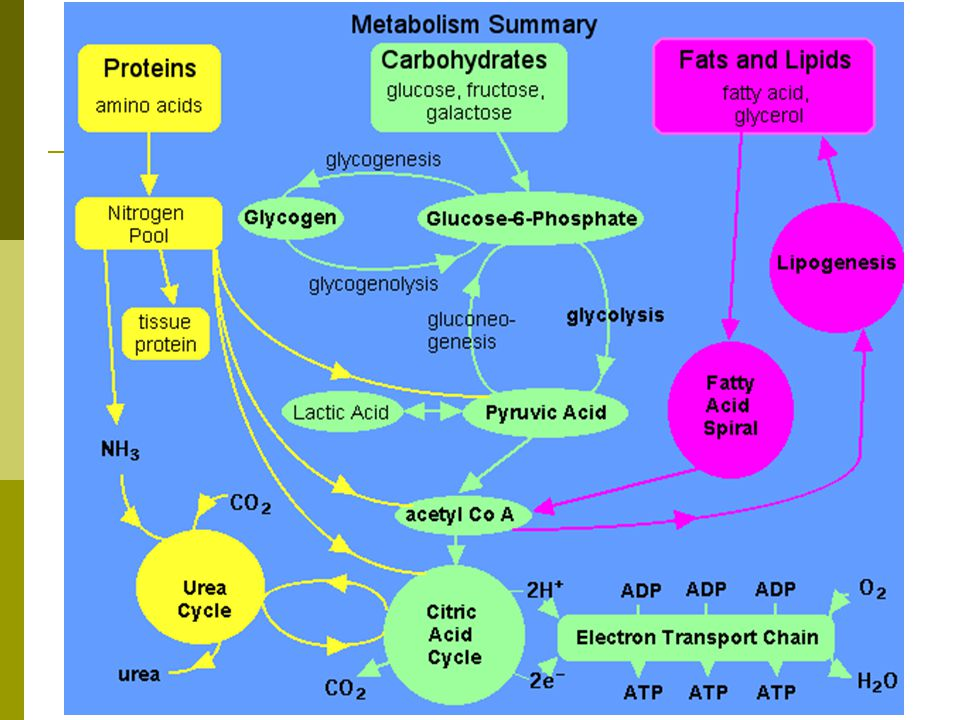 Liver-Metabolic Functions  Fats Forms Ketone Bodies for an alternate energy source when Carbohydrates are not available Form Lipoproteins-LDL and HDL Form Cholesterol and Phospholipids Where do we need phospholipids?.