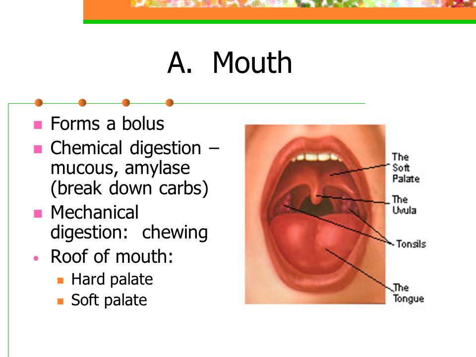 Alimentary Canal Hollow tube that begins at the mouth, ends at the anus Mouth Pharynx Esophagus Stomach Small intestine Large intestine Rectum