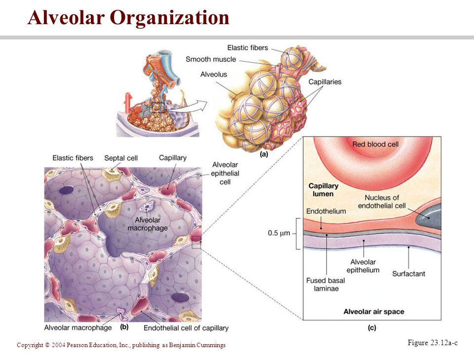 Copyright © 2004 Pearson Education, Inc., publishing as Benjamin Cummings Figure 23.12a-c Alveolar Organization