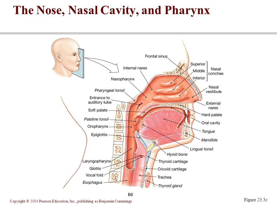Copyright © 2004 Pearson Education, Inc., publishing as Benjamin Cummings Figure 23.3c The Nose, Nasal Cavity, and Pharynx
