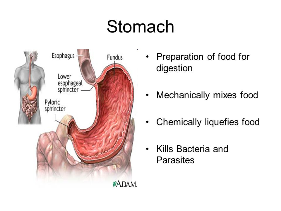 Stomach Preparation of food for digestion Mechanically mixes food Chemically liquefies food Kills Bacteria and Parasites