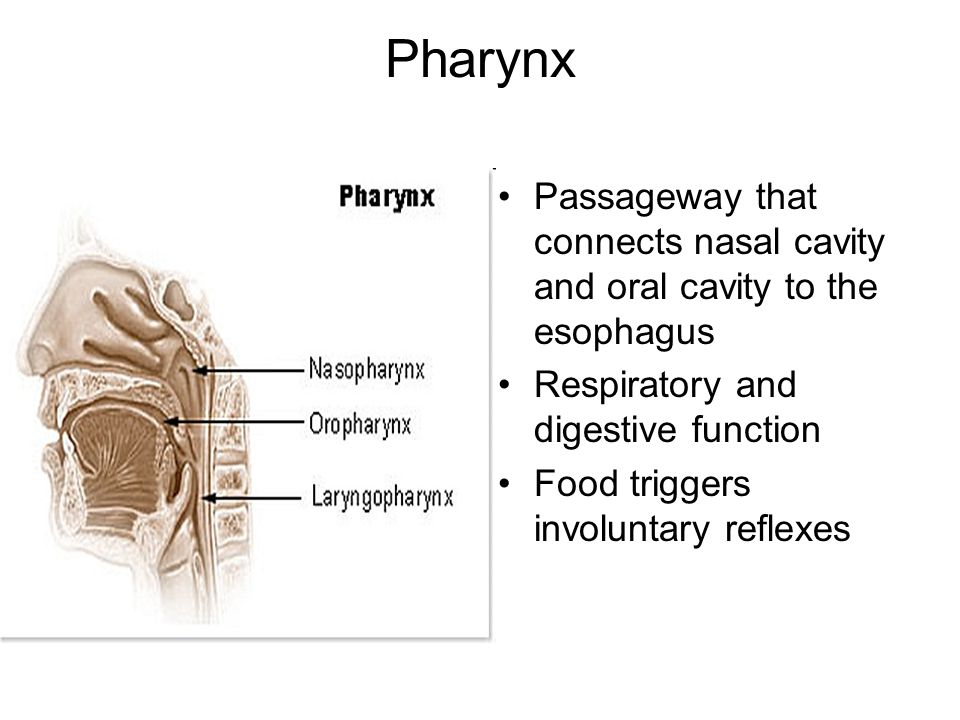 Pharynx Passageway that connects nasal cavity and oral cavity to the esophagus Respiratory and digestive function Food triggers involuntary reflexes