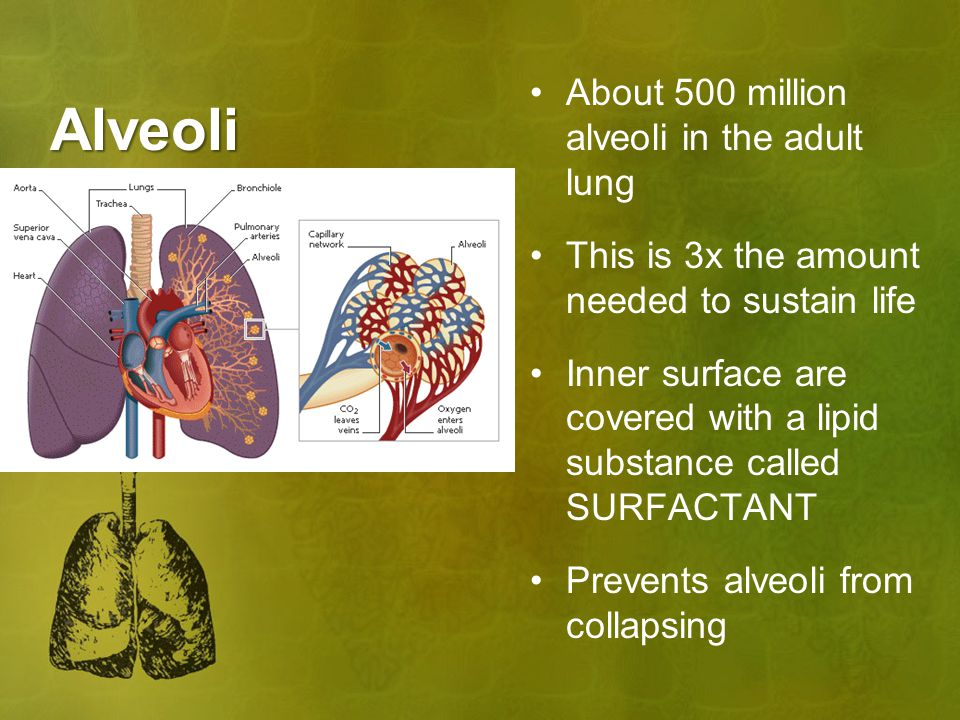 Alveoli About 500 million alveoli in the adult lung This is 3x the amount needed to sustain life Inner surface are covered with a lipid substance called SURFACTANT Prevents alveoli from collapsing