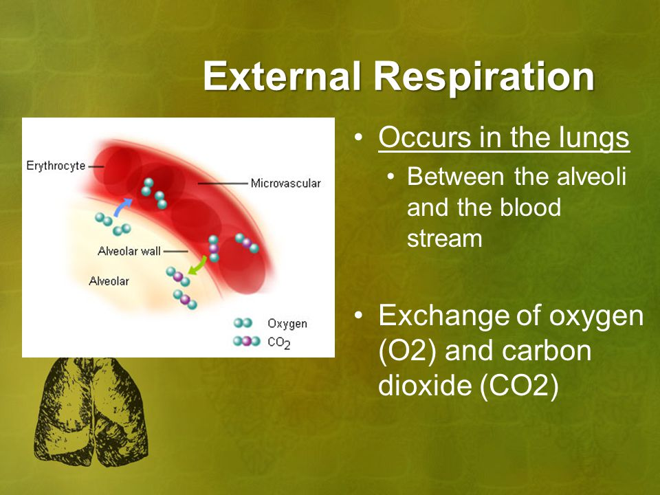 External Respiration Occurs in the lungs Between the alveoli and the blood stream Exchange of oxygen (O2) and carbon dioxide (CO2)